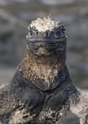 Marine Iguana. Galapagos. S5PRO, 18-200mm. by Derek Haslam 